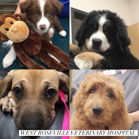 Roseville New Puppy Care